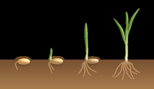 klíčení jednoděložné rostliny